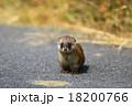 野生のイタチ 18200766