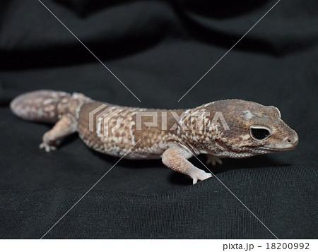 ニシアフリカトカゲモドキ(バンデット) 全身 18200992
