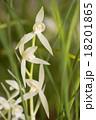 東洋蘭 花 蘭の写真 18201865