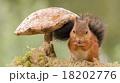 リス りす 栗鼠の写真 18202776