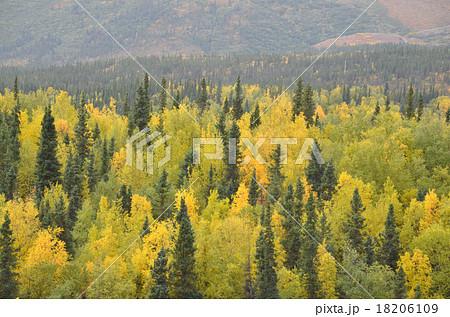 見事に色付いたアラスカの針葉樹林、タイガ 18206109