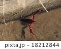 アメリカザリガニの雄 18212844