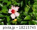 10月熱帯植物 ハイビスカス・アオイ科52 18215745
