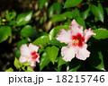 10月熱帯植物 ハイビスカス・アオイ科53 18215746