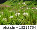 花 クレオメ 植物の写真 18215764