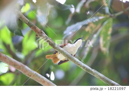 パプアニューギニアの野鳥・テリ...