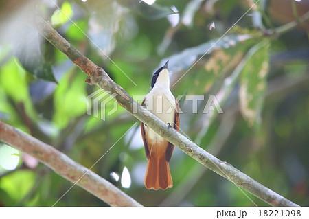 パプアニューギニアの野鳥・テリヒラハシの写真素材 [18221098] - PIXTA