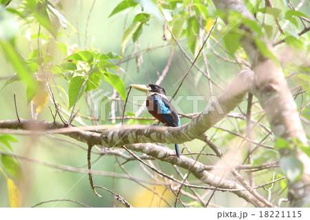 パプアニューギニアの野鳥・チャ...