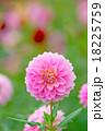 ダリア 18225759