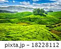 茶畑 お茶 茶の写真 18228112