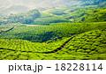 茶畑 お茶 茶の写真 18228114