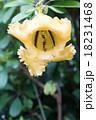 ラツパバナ 18231468