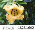 ラツパ花 大花 18231602