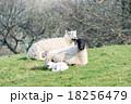 草原で休む羊の親子 18256479