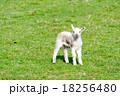 草原にたたずむ子羊一匹 18256480
