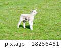 草原にたたずむ子羊一匹 18256481