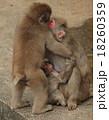 ラブラブ、お猿の家族 18260359