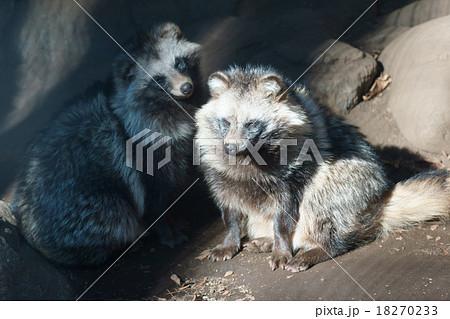 狸 冬毛のタヌキ 18270233