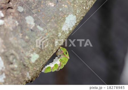 クロアゲハの幼虫と寄生蜂 18278985