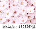 桜の花 18289548