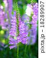花 園芸植物 ハナトラノオの写真 18289907