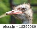 ダチョウ 鳥 鳥類の写真 18290089