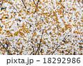 ヤマザクラの花と葉 18292986