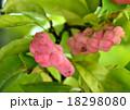 辛夷 実 果実の写真 18298080
