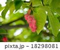 辛夷 実 果実の写真 18298081