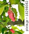 辛夷 実 果実の写真 18298082