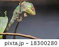 パンサーカメレオン 18300280