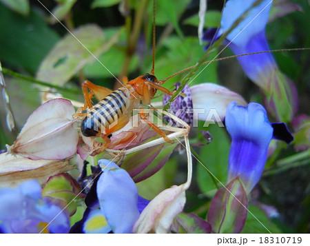 謎の昆虫(突然変異?) 18310719