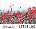 赤い実の木 18313198