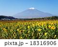花の都公園 秋 ひまわりの写真 18316906