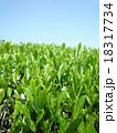 茶畑 18317734