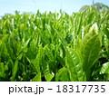 茶畑 18317735