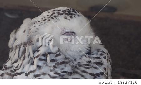 フクロウの寝顔 18327126