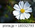 花 秋桜 キク科の写真 18332793