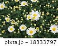 白色 小菊 18333797