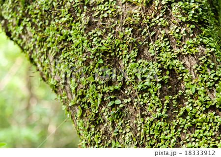 木にまとわりつく植物 18333912