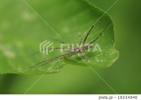 生き物 蜘蛛 ヒゲナガハシリグモ、長いのはヒゲではなくて足(第一、第二脚)なんですが・・・ 18334846