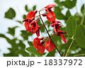アメリカデイゴ デイゴ 花の写真 18337972