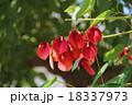 アメリカデイゴ デイゴ 花の写真 18337973
