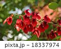 アメリカデイゴ デイゴ 花の写真 18337974