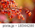 ニシキギ 実 植物の写真 18344280