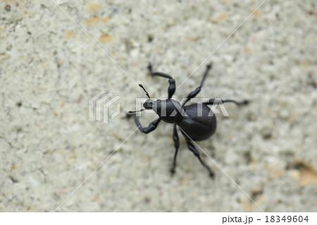 生き物 昆虫 クロカタゾウムシ、真っ黒で瓢箪型のゾウムシ。名前の通りとてつもなく硬いそうです 18349604