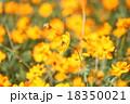 コスモス 秋桜 花の写真 18350021