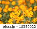 コスモス 秋桜 花の写真 18350022