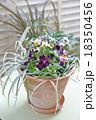 寄せ植え パンジー ビオラの写真 18350456
