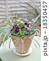 寄せ植え パンジー ビオラの写真 18350457